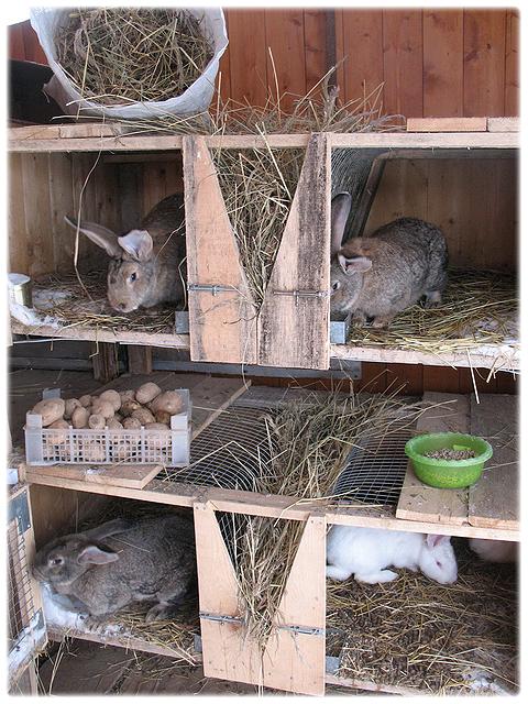 Как разводить кроликов великанов в домашних условиях - УО РМД